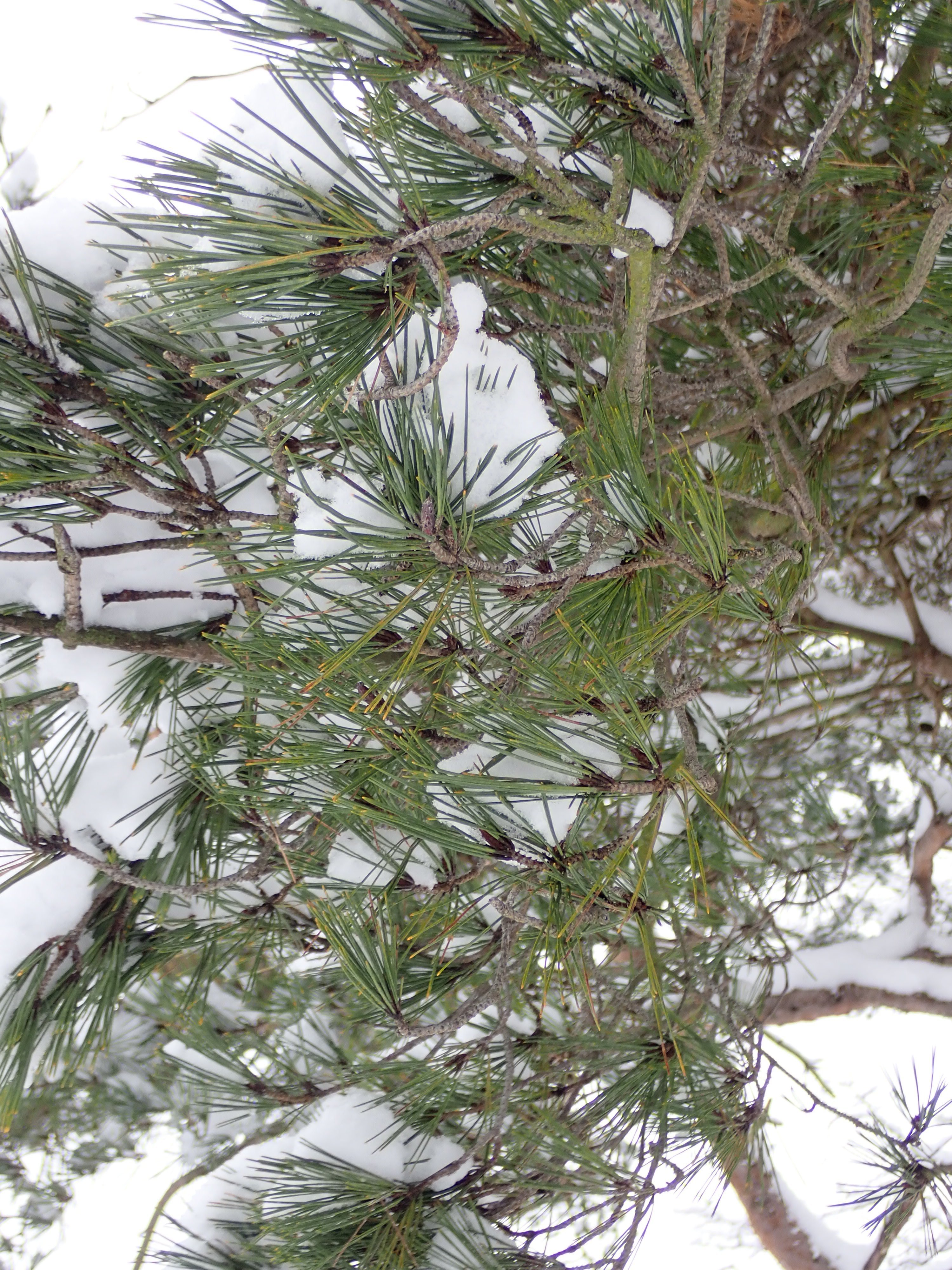 GG_pine