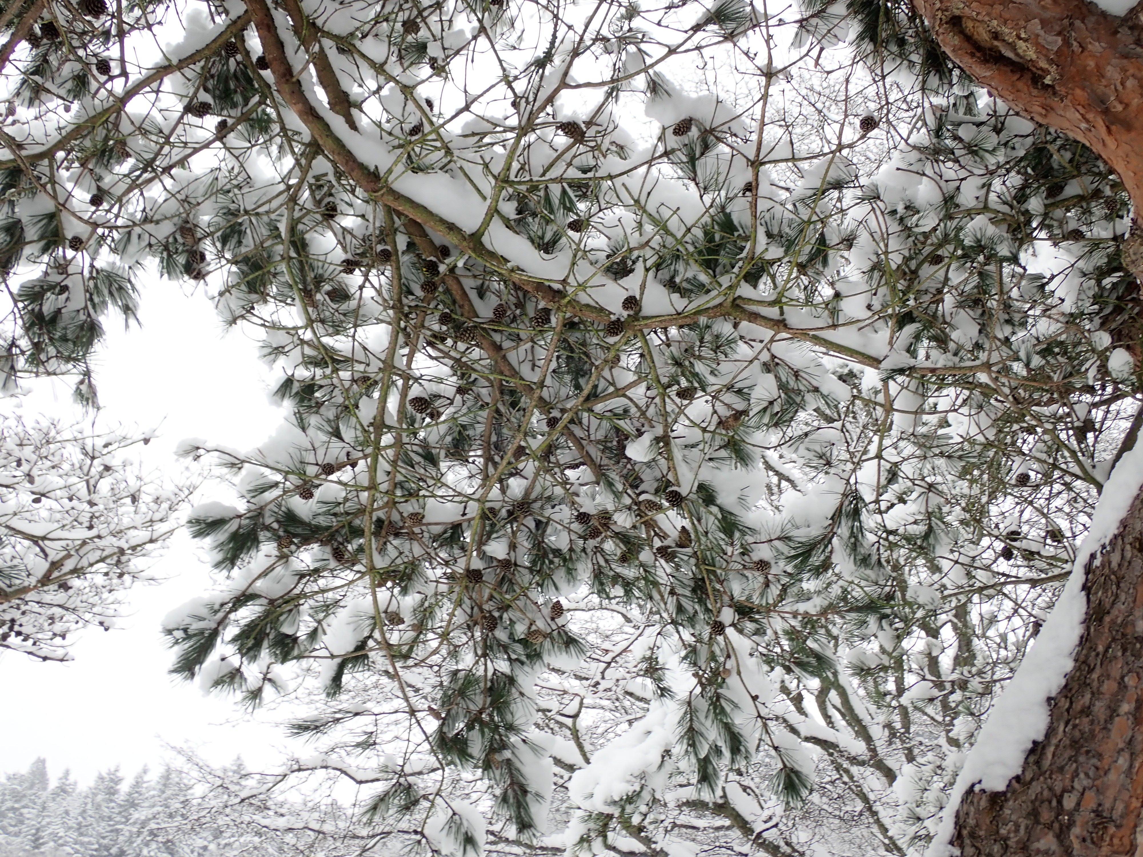 GG_pine5