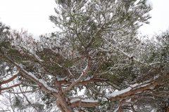GG_pine2